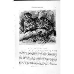 NATURAL HISTORY 1893 94 CLOUDED LEOPARD WILD ANIMAL