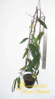 Hoya hypolasia Rare Plant Blooming Size 1 Pot