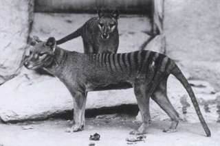 Niue 2011 Tasmanian Tiger, Wolf or Thylacine 75th Anniv