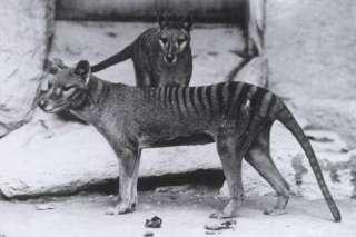 Niue 2011 Tasmanian Tiger, Wolf or Thylacine 75th Anniv