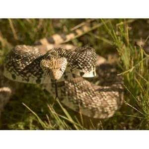 Bull Snake Hides in the Little Missouri National Grasslands Animal