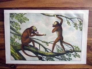 1875 WILD ANIMALS LITH #50 Red Howler Monkey