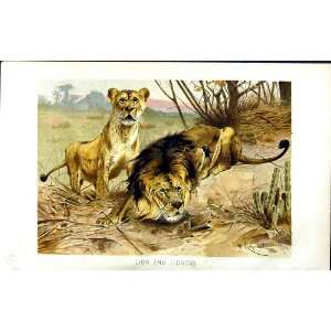NATURAL HISTORY 1893 94 LION LIONESS WILD ANIMALS