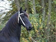 Frisone Vendita cavalli, animali da cortile, da allevamento e molti